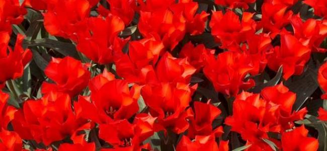 Tulpių šventė Olandijos Keukenhofo parke – tai ką turi pamatyti bent kartą gyvenime