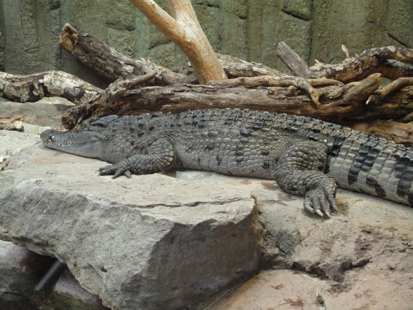 Londono zoologijos sodo krokodilas