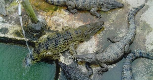 Krokodilų ferma