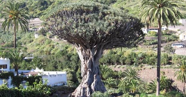 Drakono medis