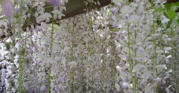 Ashikaga gėlių parkas Japonijoje
