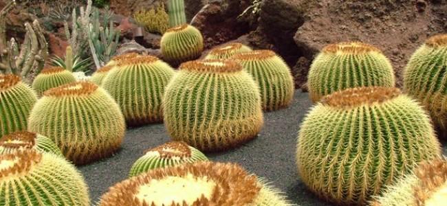 Lansarotės įžymybės. Kaktusų sodas