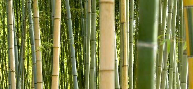 Bambukų miškas – vienas įspūdingiausių gamtos objektų Japonijoje