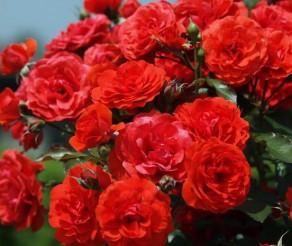 Bulgarijos įžymybė – Rožių slėnis