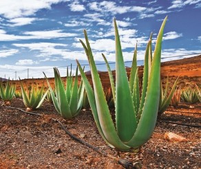 Fuerteventūra: banglentinikams, paplūdimių mylėtojams bei nuotykių ieškotojams